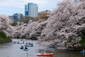 ЯПОНИЯ и магията на цъфналите вишни