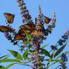 Миграцията на пеперудите монарх - един феномен на Майката Природа