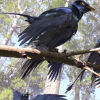 Четирикрилата птица от Китай