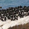 Боулдърс бийч – прочутите пингвини на Южна Африка
