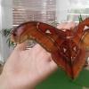 Вижте най-голямата пеперуда в света в Бургас (имате 2 дни!)