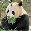 Къде да видите панди в Европа и по света