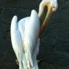 Историята на пеликана Петрос, звездата на остров Миконос
