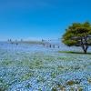 Парк Хитачи в Япония: където небето се слива с поле от сини цветя